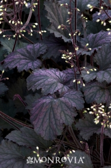 2310-frosted-violet-coral-bells-close-up
